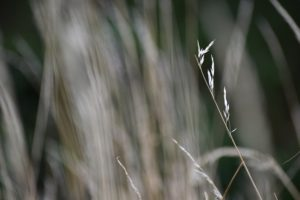 A single light brown grass stalk with the background of other grass out of focus behind