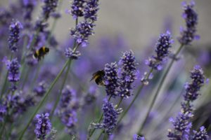 close up of lavender flower with bees